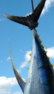 Yellowfin tuna tail