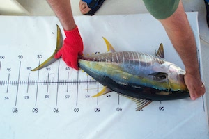 measuring a tuna