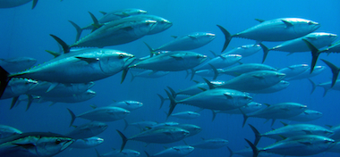 a school of tuna